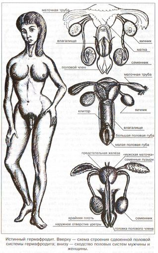 Гермафродит половые органы как они выглядят